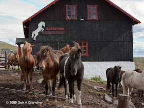 Photo: The Icelandic horses of Hjerkinn Fjellstue & Fjellridning. A robust race well suited for riding in the mountains.