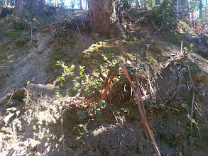 Photo: The falling bark is a real problem everything growing close to the eucalyptus.