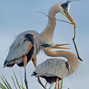 by Shelly Wetzel - Animals Birds ( great blue heron )