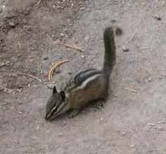 Photo: Fat litle least chipmunk