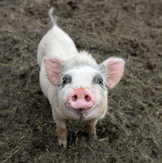 African swine fever cannot be transmitted to humans.