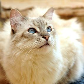 Siamese Sunlight by Josh Norem - Animals - Cats Portraits ( cats, kitten, cat, kittens, portraits, feline, siamese )