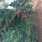 Nandina bush