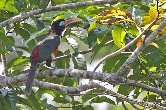Photo: Chestnut-eared Aracari