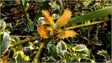 Photo: Laur (Ilex aquifolium variegata) - Turda, Str. Libertatii, spatiu verde - 2019.05.09