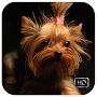 Yorkshire Terrier Wallpaper HD - Fanny APK icon