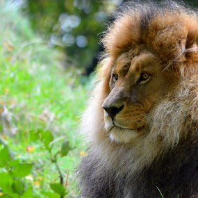 Portrait of a male lion by Steen Hovmand Lassen - Animals Lions, Tigers & Big Cats ( lion, carnivore, mane, male, king, animal,  )