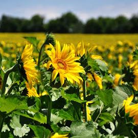 Bright Sunflowers by Diane Underwood - Flowers Flowers in the Wild ( field, wild, bright, green, sunflowers, yellow, flowers, sun )