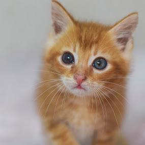 Orange kitten by Eglė Eglė - Animals - Cats Kittens ( orange cat, cat, kitten, kitty )