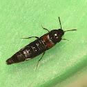 Short-Winged Beetle