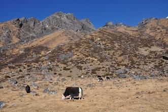 Photo: En direction de Ramchaur (... et les placides yacks au pied)