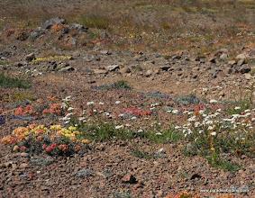 Photo: More alpine wildflowers, Steens Mountain