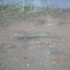 Spotted Snakehead