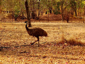 Photo: AUSTRALIE-Emeu