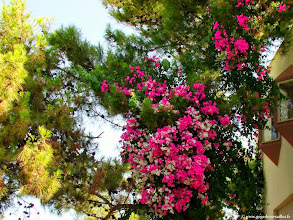 Photo: #016-Bougainvillées multicolores au Club Med de Bodrum