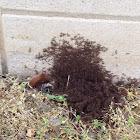 Black Garden Ant (massive swarm)