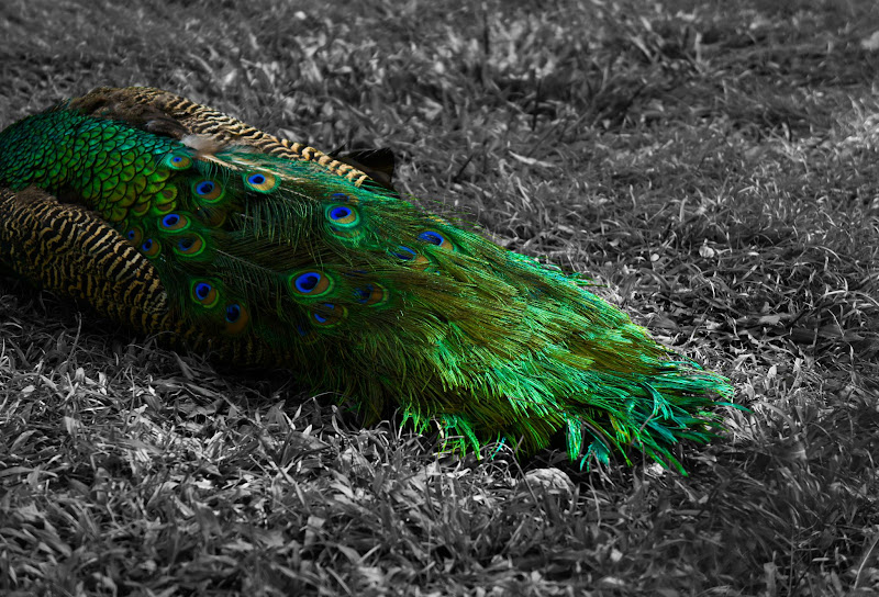 Photo: Like the golden anklets; Like a cooing cuckoo; Like a dancing peacock she danced in the golden light.