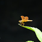 Dragonfly or Libélula
