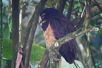 Photo: Spectacled Owl