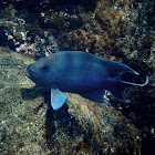 Giant damselfish