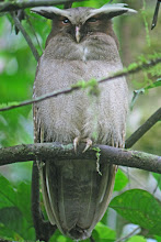 Photo: Crested Owl