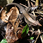 Delicate Ameiva, Delicate Whiptail
