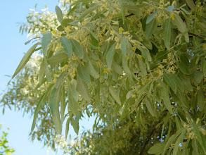 Photo: Hojas y flores del árbol del paraíso