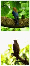 Photo: 撮影者:福本 健 オオルリ タイトル:山頂での出会い 観察年月日:2014年8月18日 羽数:3~4羽 場所:陣馬山山頂 区分:行動 メッシュ:与瀬3J コメント:平日探鳥会で陣馬山に登った。頂上トイレの近くで鳥が鳴いているので探したら、みずきの実をオオルリが食べていた。鳥が動き回っており、はじめ鳥の種類はよくわからなかったが、最終的にはオオルリの雄雌の若鳥が3~4羽いたようだ。粕谷さんはアオバト2羽も確認された。