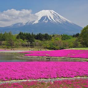 Shibazakura Matsuri, Yamanashi Prefecture, Japan by Paul Atkinson - Landscapes Prairies, Meadows & Fields ( japan, mount, prefecture, yamanashi, moss, fuji, phlox, shibazakura )