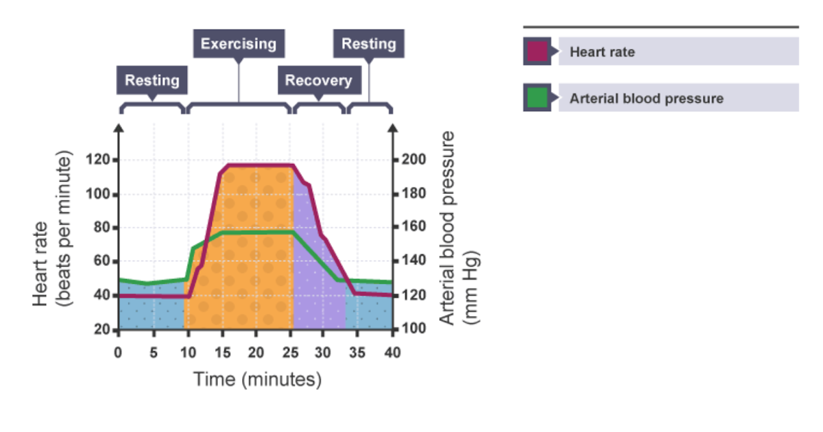 IGCSE Biology Notes: 2.64: Describe How the Heart Rate ...