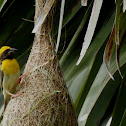 The baya weaver