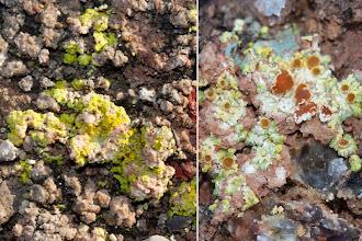 Photo: Estrat liquenícola algepsars: Fulgensia sp.