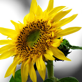 by S S Bhattacharjee - Flowers Single Flower