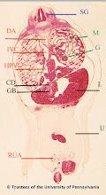 Photo: Nervous System (blue labels): SG - Spinal Ganglia  Circulatory System (red labels): DA - Descending Aorta HPV - Hepatic Portal Vein IVC - Inferior Vena Cava RUA - Right Umbilical Artery  Digestive System (black labels): CD - Cystic Duct GB - Gall Bladder L - Liver U - Umbilicus  Urogenital System (green labels): G - Glomeruli M - Mesonephros