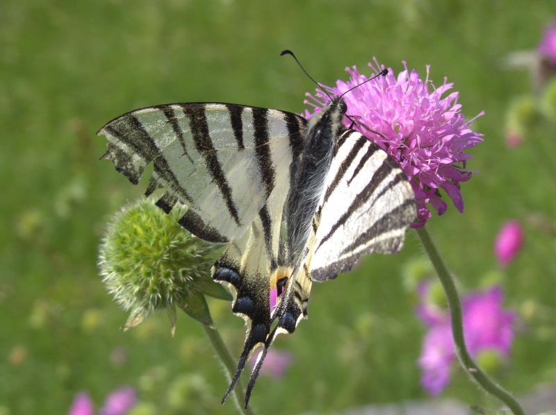 scarce swallowtail_rsz.jpg