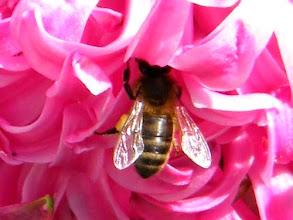 Photo: Une de mes abeilles butinant sur une jacinthe. 14.03. Par l'odeur alléchée !