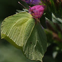 Brimstone(female)