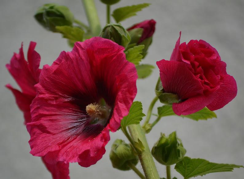 les belles roses  trémiéres  dans les fleurs