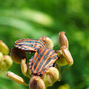 Italian striped bug