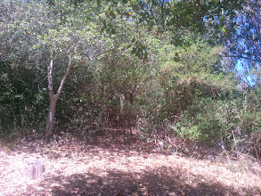 Photo: Deep in the broom thicket behind the fence, in what appear to be a vacant lot, there is a coast live oak being choked out.