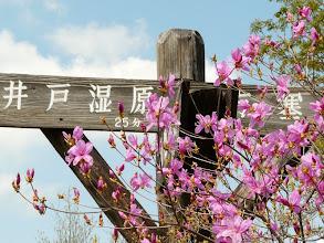 Photo: 横根山山頂のトウゴクミツバツツジ
