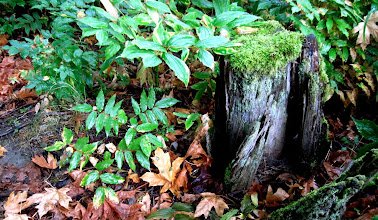 Photo: In the woods alongside the Coquihalla River. Leaves and stump.