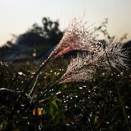 Snow Grass by Raju Nagavelli - Nature Up Close Leaves & Grasses