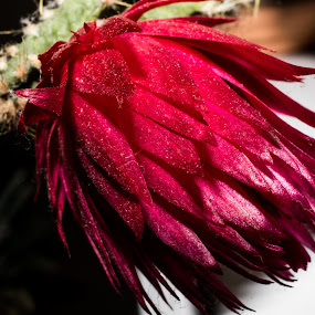 R2mog by Michael Thorndike - Flowers Single Flower ( red, flowers, cactus flower, up close, flower )