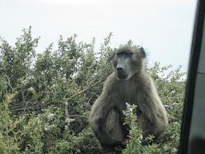 Photo: Melba's favorite baboon