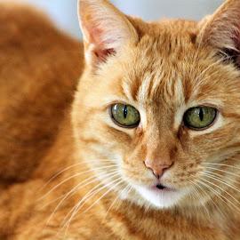 by Jess Baldacci - Animals - Cats Portraits (  )