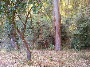 Photo: Eradicating the eucalyptus would leave the far more manageable riparian woodland in place.