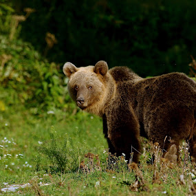 by Zeljko Padavic - Animals Other Mammals ( bear, adventure, wildlife,  )