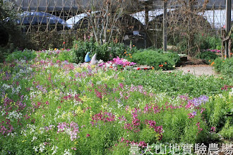 Photo: 拍攝地點: 梅峰-溫帶花卉區 拍攝植物:柳穿魚 拍攝日期:2013_02_15_FY
