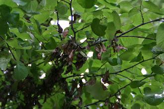 Photo: Árbol del amor (hojas y frutos)